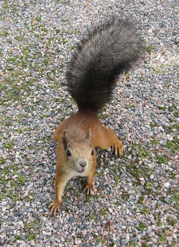 Hämmästynyt orava