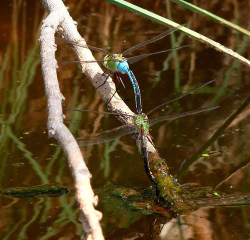 oklahoma dragonfly odonata commongreendarner anaxjunius aeschnidae beaverdunesstatepark
