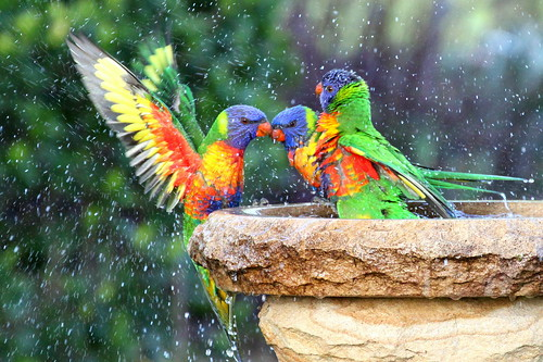 Rainbow Lorikeets - taking a bath