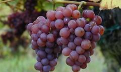 Menos kilos de uva, ¿Mejores precios?
