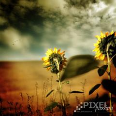 ~ sunflower romance ~