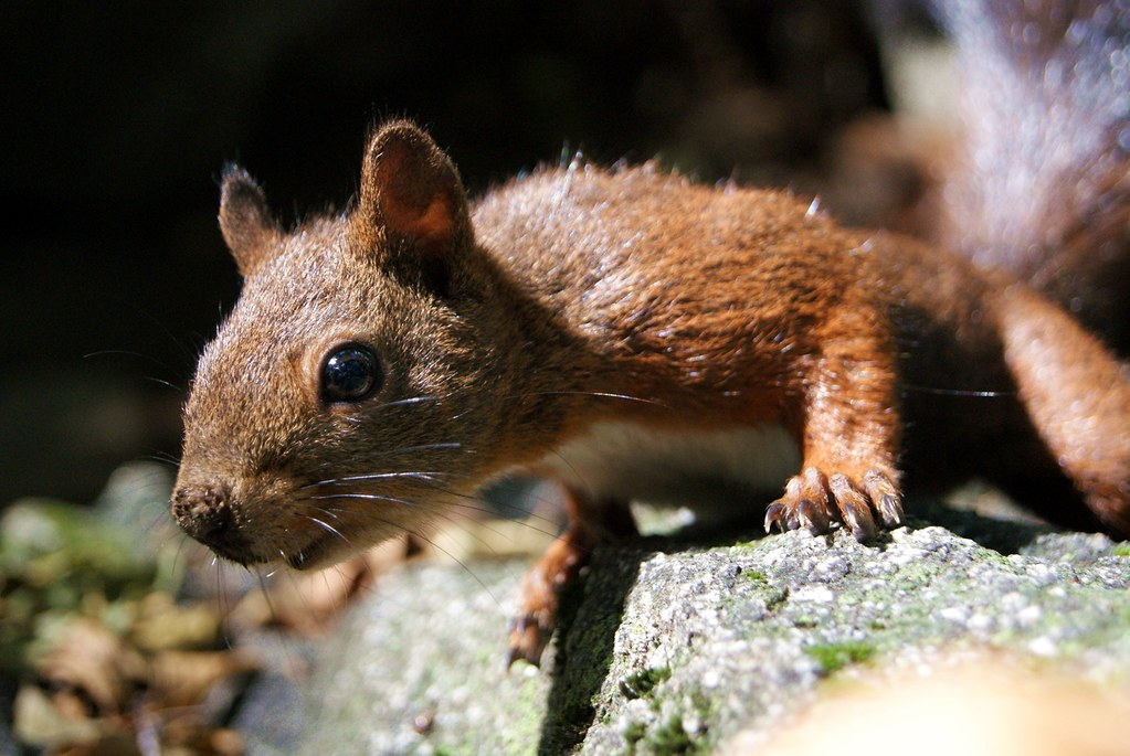 A closer look . Red squirrel . Sciurus vulgaris DSC09553e