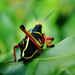 Small photo of Lubber Grasshopper aka Romalea Guttata