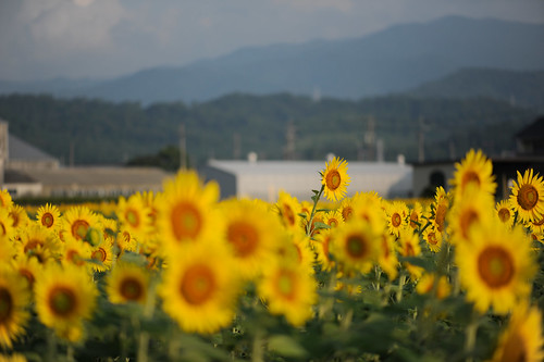 nikon sunflower 岐阜 gifu 向日葵 ogaki ひまわり ヒマワリ afsvrmicronikkor105mmf28gifed 大垣 d3s
