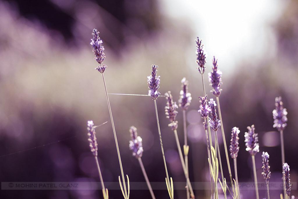 lavender hill farm 1