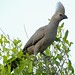 Grey Go-Away-Bird (Corythaixoides concolor) by berniedup