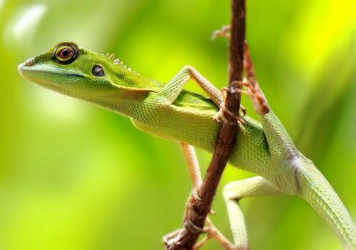 Changeable Lizards : Macro Stock Photography :