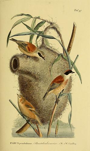 Pungmes (Remiz pendulinus).