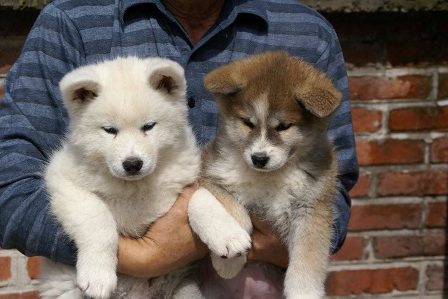 Akita Inu (6 weeks old Japanese Akita Puppy) | Flickr - Photo Sharing!