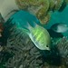 Small photo of Staghorn Damsel (Amblyglyphidodon curacao)
