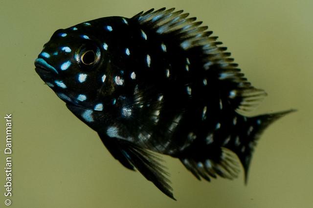 Tropheus Duboisi Maswa Flickr - Photo Sharing!