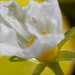 Nymphoides sp. 'Taiwan' Flower