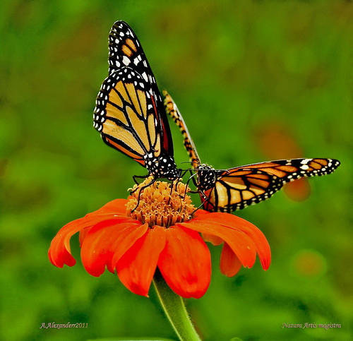vlinders(Monarch Butterflies)..