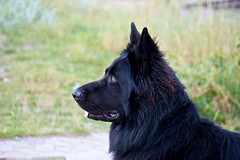 dog breed, animal, dog, tervuren, bohemian shepherd, mudi, carnivoran, schipperke,