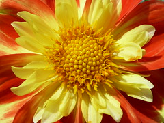 annual plant, flower, yellow, plant, gerbera, macro photography, flora, close-up, petal,