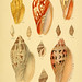 Thesaurus conchyliorum, or, Monographs of genera of shells v.5 plates.