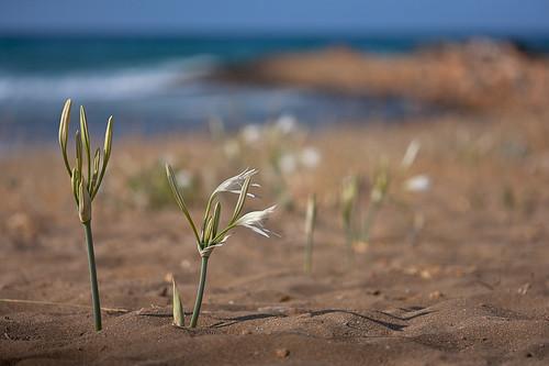 Sea Daffodils (1/5)