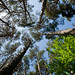 Beech and Pine Trees, San Juan de la Peña  (Sergio Padura)