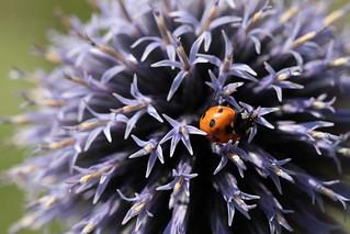 Ladybug lost in Echinops Ritro