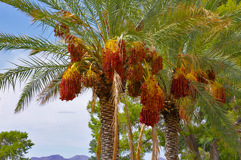 Date Palm Trees at the OVCC