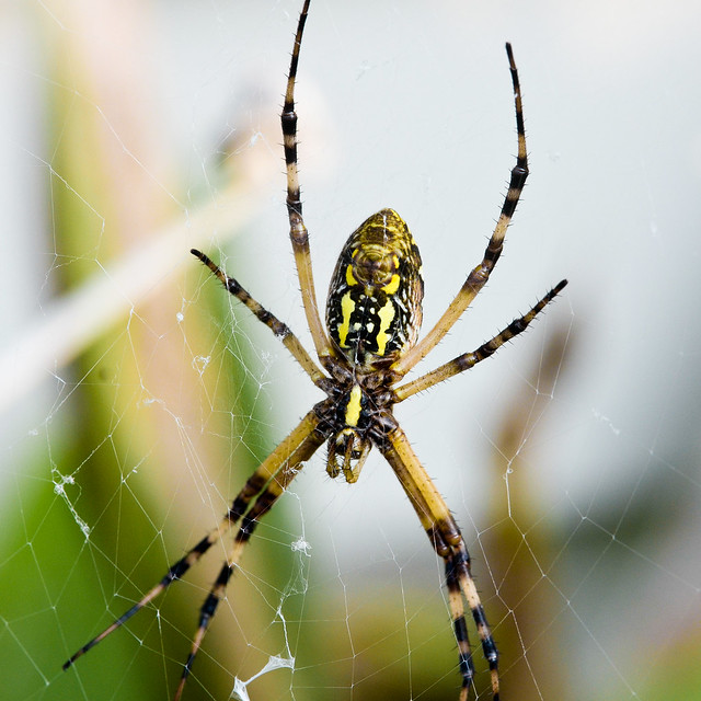 Are banana spiders poisonous?