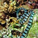 Small photo of Banded Sea Krait (Laticauda colubrina)