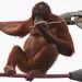 Orangutan Young Female