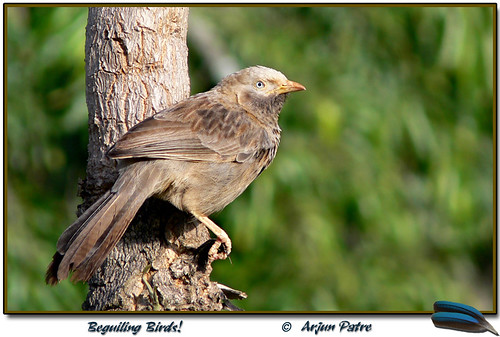 """ Yellow billed Babbler """