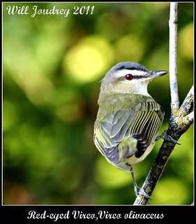 Red - Eyed Vireo