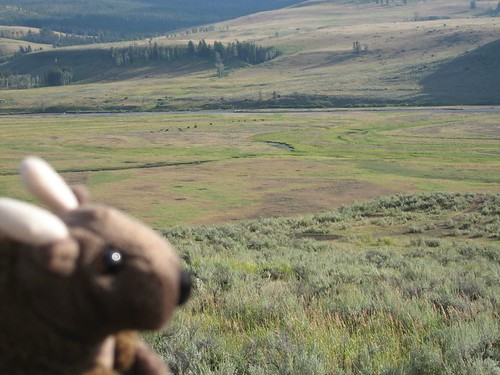 Buddy Bison watches a far off herd of his cousins in the Lamar Valley in Yellowstone National Park