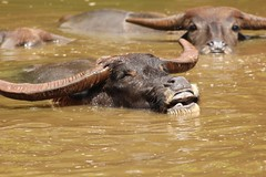 indian elephant(0.0), muskox(0.0), cattle-like mammal(1.0), animal(1.0), water buffalo(1.0), working animal(1.0), mammal(1.0), horn(1.0), fauna(1.0), safari(1.0), wildlife(1.0),