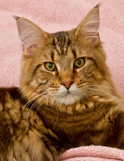 Stefan,The Beautiful Maine Coon!
