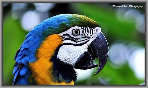 மூக்கும் முழியுமாய்../ Blue-and-yellow Macaw (Ara ararauna)