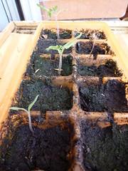 Plántulas tomate pera en semillero