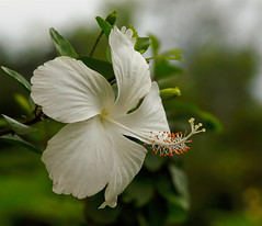 Absolute White Hibiscus