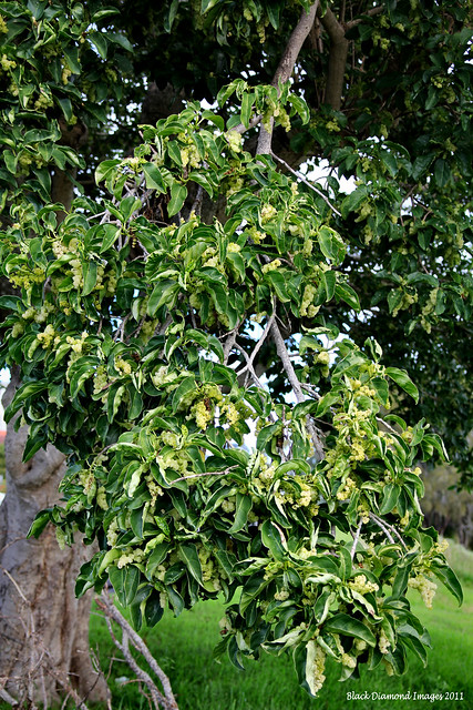 Dendrocnide photinophylla - Shiny-leaved Stinging Tree, Shining-leaved Stinging Tree