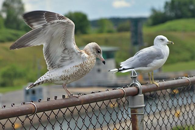 Female seagull - photo#4