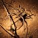 Lycosid Spider by forstwalkr