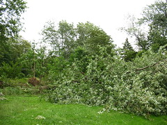 After Hurricane Irene - another tree down, silver maple