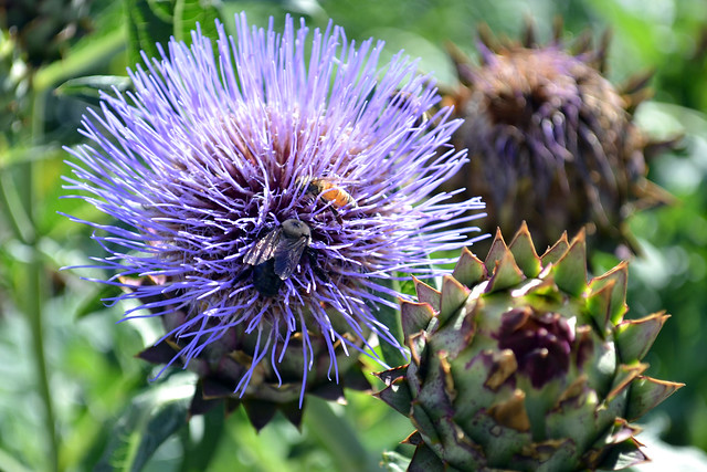 Pollinators can't resist this dramatic artichoke (Cynara cardunculus var. scolymus) now blooming in BBG's Herb Garden. Photo by Elizabeth Peters.