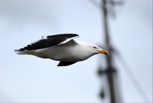 Seagull in flight II