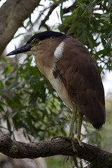 Bihoreau - Night Heron