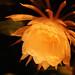 Small photo of Brahma Kamal (Nightblooming Cereus)