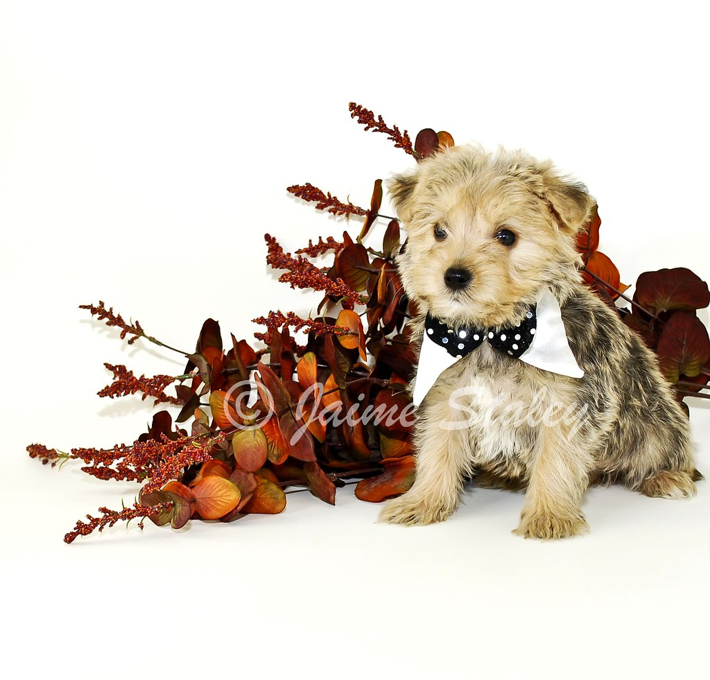 MORKIE PUPPIES FOR SALE IN FLORIDA  MORKIE PUPPIES FOR
