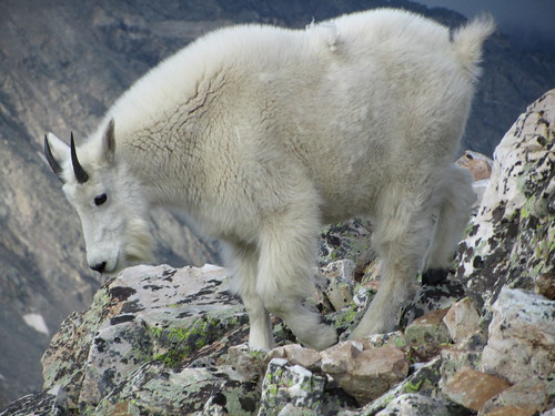 white mountains animal mammal colorado rocks hiking horns mountaingoat quandarypeak tenmilerange