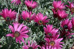 garden cosmos(0.0), marguerite daisy(0.0), karkalla(0.0), dorotheanthus bellidiformis(1.0), aster(1.0), annual plant(1.0), flower(1.0), plant(1.0), flora(1.0), ice plant(1.0), petal(1.0),