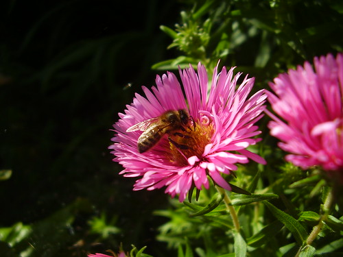 Sept 11 280 Bee on Aster