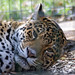 Small photo of Jaguar (Panthera onca), Amazona Zoo
