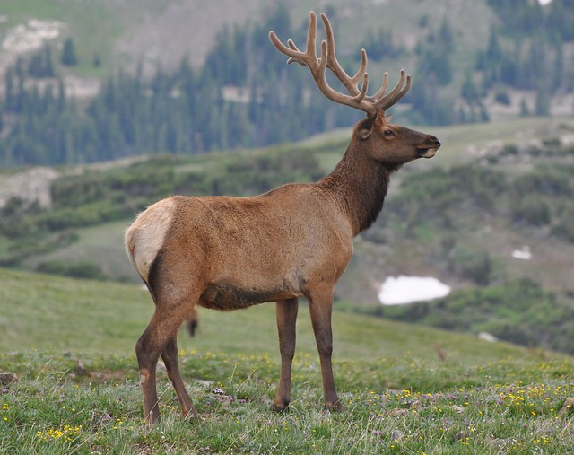 Rocky Mountain Elk http://www.flickr.com/photos/lamonicanature/6154015053/