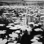 Watendlath Lilies